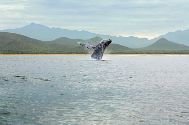 Whales in todos santos - tres santos, Mexico