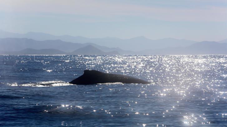 whales in todos santos- tres santos